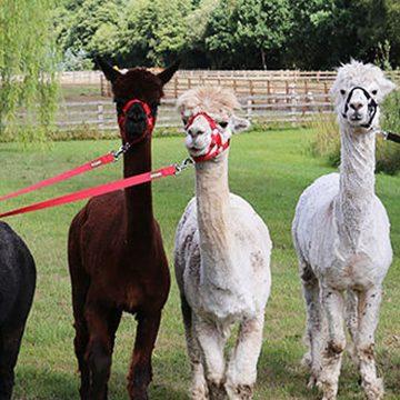 Herd of alpacas on leads